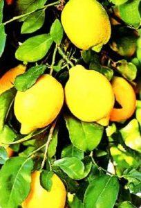 Почему лимон облысел?